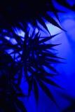Fond d'abrégé sur cannabis de marijuana Photographie stock libre de droits