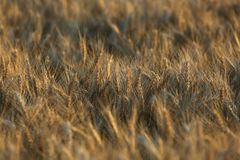 Fond d'abrégé sur herbe de blé de brun jaune de champ Photos stock