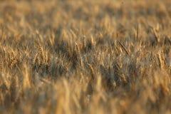 Fond d'abrégé sur herbe de blé de brun jaune de champ Photographie stock