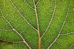 Fond d'abrégé sur texture de feuille avec la vue de plan rapproché sur des veines Photo libre de droits