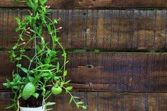 Fond d'Ant Plant Dischidia Pectinoides Wooden photo stock