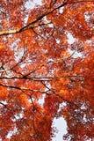 Fond d'arbre d'Autumn Maple de Japonais Images libres de droits