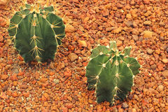 Fond d'arbre de cactus Photos stock