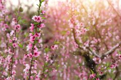 fond d'arbre de fleur de ressort avec de belles fleurs roses Foyer sélectif photo libre de droits