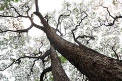 Fond d'arbre de pluie Photos libres de droits