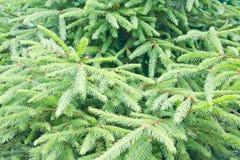 Fond d'arbre de sapin Images libres de droits
