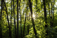 Fond d'arbres forestiers en bois Horizontal vert de nature désert Photo libre de droits