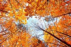 Fond d'automne Arbres d'automne prolongeant le ciel Forêt d'automne Photo stock