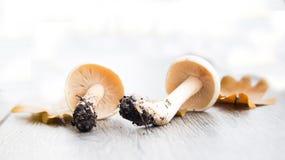 Fond d'automne avec des champignons de couche et des lames photographie stock libre de droits