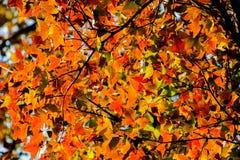 Fond d'automne avec le bel arbre d'érable orange et la lumière du soleil Image stock