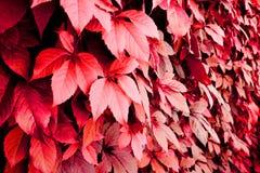 Fond d'automne des feuilles rouges photographie stock