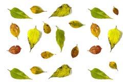 Fond d'automne fait à partir des feuilles du chokeberry et du topinambour, sur un fond blanc La plate Image stock