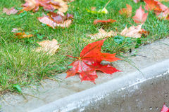 Fond d'automne Lames d'érable rouge Photos stock