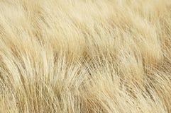 Fond d'or d'herbe Image libre de droits