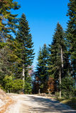 Fond d'environnement de forêt avec le pin vert Image libre de droits