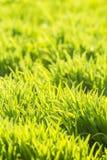 Fond d'herbe vert clair fraîche Image stock