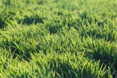 Fond d'herbe verte de ressort frais Images stock