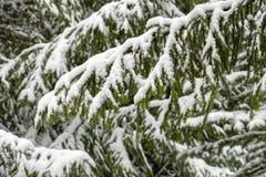 Fond d'hiver avec les branches neigeuses de sapin photo stock