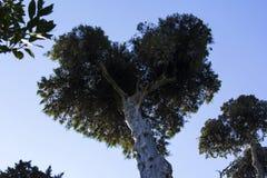 Fond d'image avec la couronne énorme de pin sous forme de coeur, dans Montserrat Photographie stock