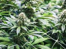 Fond d'industrie de cannabis avec Bud Growing sur Marijuan d'intérieur Images libres de droits