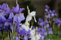 Fond d'iris Image stock