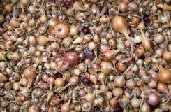Fond d'oignon Photo libre de droits
