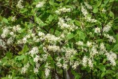 Fond d'oiseau-cerise de fleurs blanches Photos libres de droits