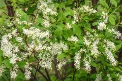 Fond d'oiseau-cerise de fleurs blanches Images libres de droits