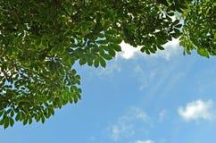 Fond d'ombre d'arbre en caoutchouc Images stock