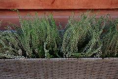Fond d'un bouquet des fleurs, Heather blanche dans le panier en osier sur les murs en bois image libre de droits
