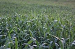 Fond d'un champ avec de jeunes pousses des céréales Photos stock