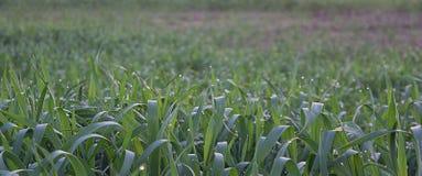 Fond d'un champ avec de jeunes pousses des céréales Image stock