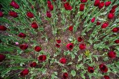 Fond d'un grand nombre de tulipes dans un parterre image stock
