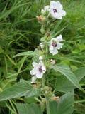Fond d'usine de pré : les petites fleurs blanches ferment l'herbe haute et verte Image libre de droits