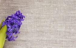 fond de belle fleur bleue de jacinthe sur le tissu du lin Image libre de droits