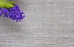 fond de belle fleur bleue de jacinthe sur le tissu du lin Photo libre de droits