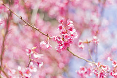 Fond de belle fleur de Cherry Blossom ou de Sakura Photo libre de droits