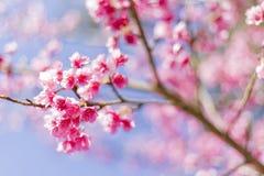 Fond de belle fleur de Cherry Blossom ou de Sakura Photographie stock libre de droits