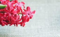 Fond de belle fleur de jacinthe sur le tissu du lin Photos stock