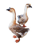 Fond de blanc de Gooses de deux oies cendrées Photographie stock libre de droits
