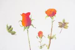 Fond de blanc de valentine d'amour de roses rouges Photographie stock libre de droits