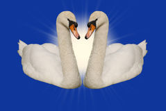 Fond de bleu de deux cygnes Photographie stock
