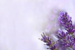 Fond de bleu de lavandes Image stock