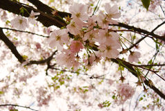 Fond de blure de Cherry Blossom Soft Focus Texture Photographie stock libre de droits