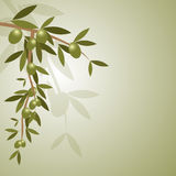 Fond de branche d'olivier Photos libres de droits