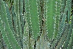 Fond de cactus Photo libre de droits