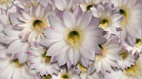 Fond de cactus de fleurs Image libre de droits