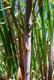 Fond de canne à sucre Photographie stock