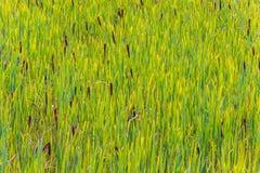 Fond de canne verte Photo stock