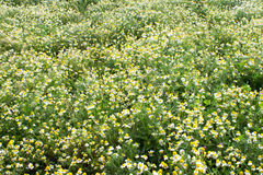 Fond de chamomilla Photographie stock
